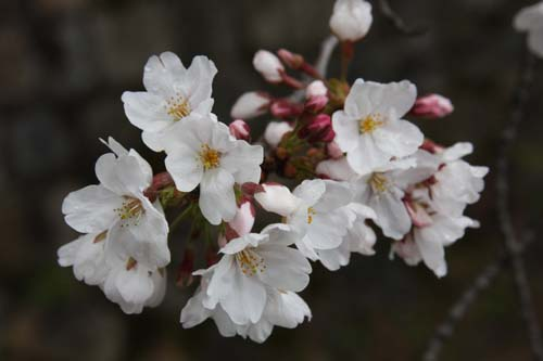 IMG_2666哲学の道の桜.JPG
