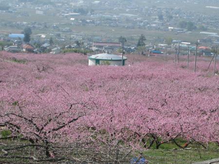 ピンクの絨毯.JPG