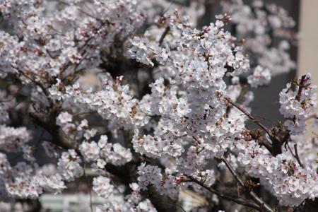 借景の桜 2.JPG